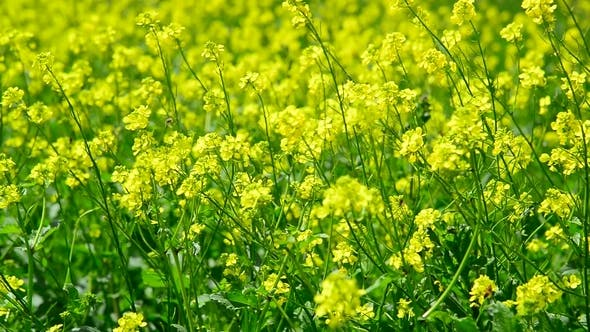 Cover Image for Many Yellow Barbarea Vulgaris
