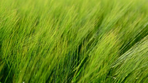 Thumbnail for Young Green Rye in Wind