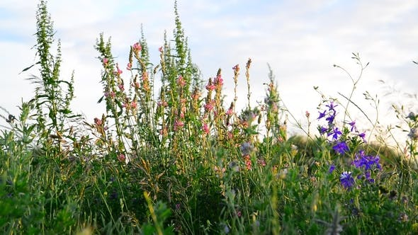 Thumbnail for Different Meadow Herbs at Sunset, Russia