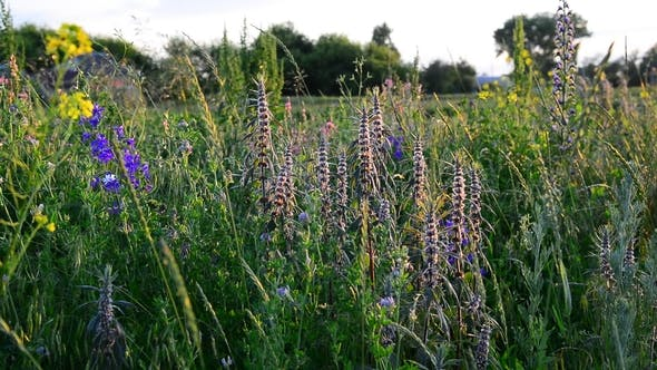 Thumbnail for Leonurus Cardiaca and Other Flowers and Grass on Meadow in Russia