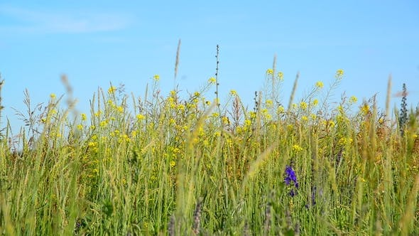 Thumbnail for Wild Meadow of Central Russia in July