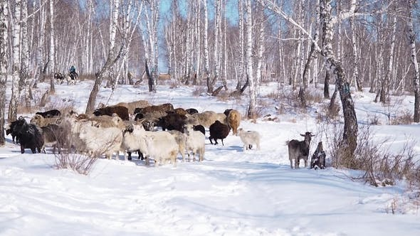 Thumbnail for A Herd of Goats Is Moving Across the Snow-covered Forest in Search of Food.