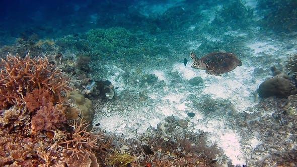 Sea Turtle Swimming Over Coral Reef. Hawksbill Turtle