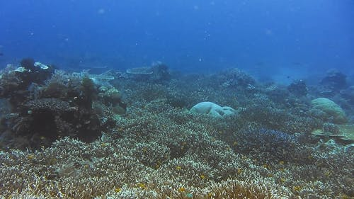 Snorkeling in the Blue Clear Ocean Water Over Rich Coral Reef. Melissa Garden, Raja Ampat, Indonesia