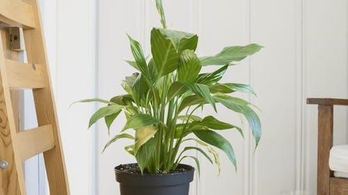 Peace Lilly Plant  After Being Watered