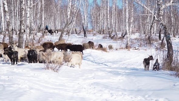 Cover Image for A Herd of Goats Is Moving Across the Snow-covered Forest in Search of Food.