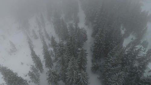 Drone Leaves the Coniferous Forest During the Snow in Dragobrat