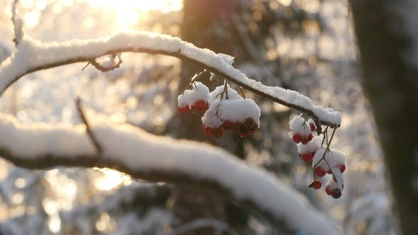 Cover Image for Ashberry Covered With Snow. Snowy Forest on Winter Time, Sun Shines