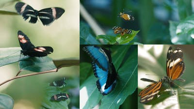 Mating Butterflies Dance