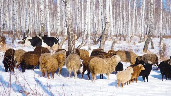 Cover Image for A Herd of Goats Is Moving Across the Snow-covered Forest in Search of Food