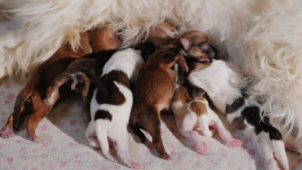 Thumbnail for Many Small Puppies Enthusiastically Eat Mother's Milk