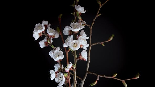 Thumbnail for Flowering Apricot Flowers
