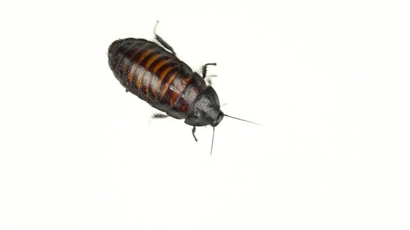 Cover Image for Cockroach Crawls in Different Directions. White Background