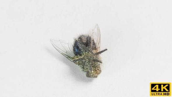 Thumbnail for Dead Fly with Eggs of Larva on the Rotating Table