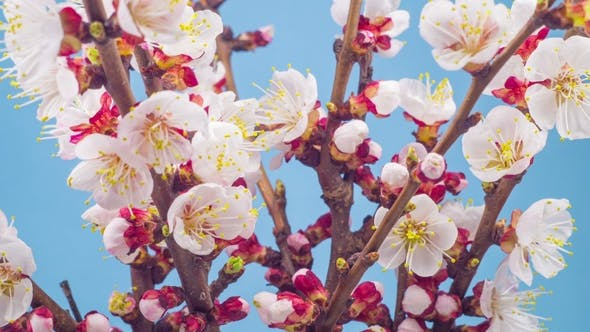 Thumbnail for White Flowers Blossoms on the Branches Cherry Tree