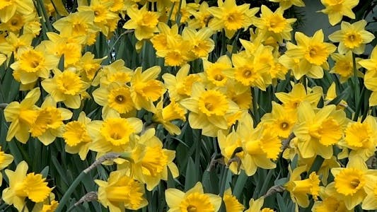 Thumbnail for Daffodil Garden III - Pack Of 5