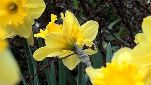 Daffodil Garden IV - Pack Of 7