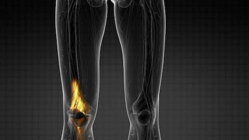 Knee Bones Anatomy