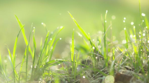 Thumbnail for Drops of Water on the Grass. Morning Dew.