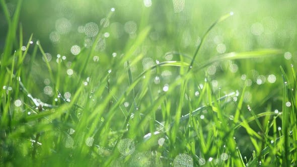 Thumbnail for Drops of Water on the Grass. Morning Dew. Blurred Background