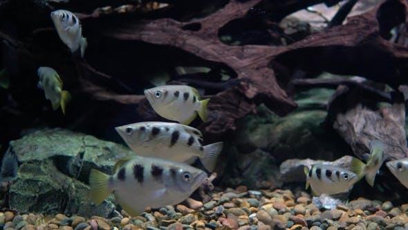 Thumbnail for Toxotes Jaculatrix (Gebänderter Bogenfisch)