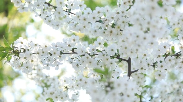Thumbnail for Flowering Cherry in Spring with White Flowers