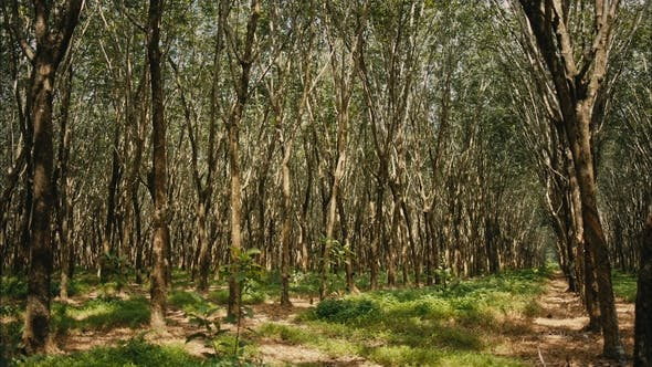 Thumbnail for Forest of Rubber Trees