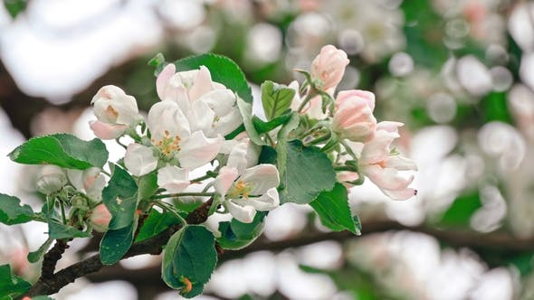 Thumbnail for Apple Trees Flowers. the Seed-bearing Part of a Plant