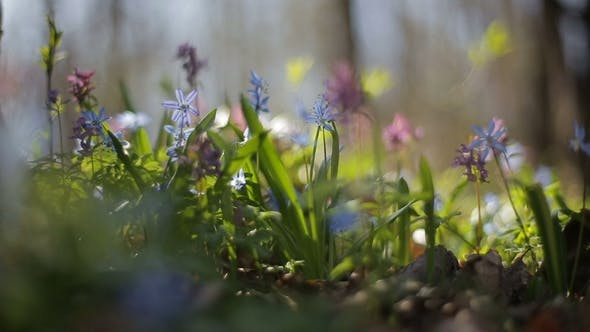 Thumbnail for First Blooming Flowers in a Spring Wild Forest. Fresh Grass and Flowers in Spring