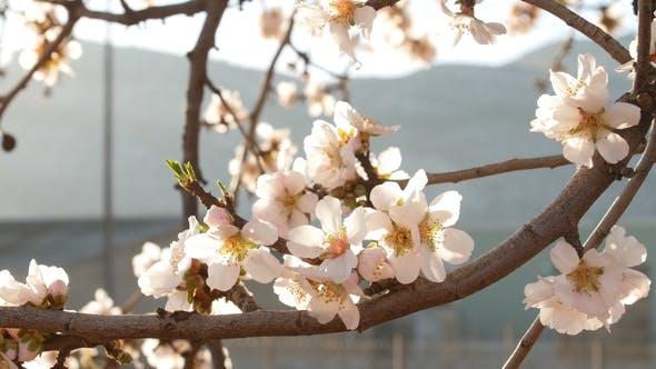 Thumbnail for of Flowering Almond Trees