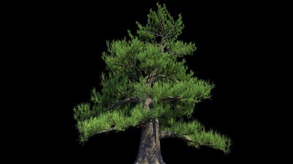Thumbnail for 4K Japanese Pine Tree Growing Timelapse