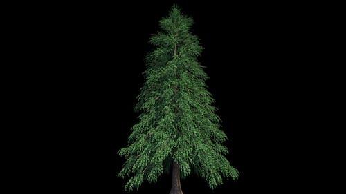 4K Ables Fraseri Tree Growing Timelapse