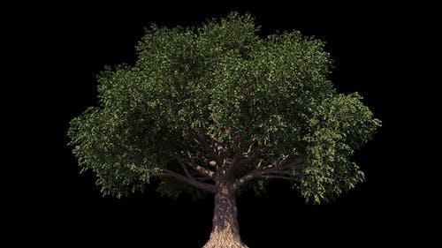 4K Beech Tree Growing Timelapse