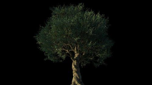 4K Olive Tree Growing Timelapse