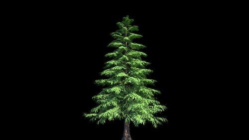 4K Yellow Cypress Tree Growing Timelapse