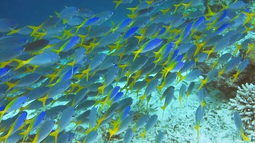 School of Yellow Tail Fusilier, Caesio Cuning, Moving Along the Coral Riff