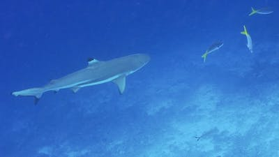 Blacktip Reef Shark Swimming in a Current and Hunting Over Coral Reef