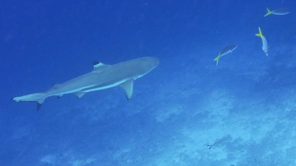 Thumbnail for Blacktip Reef Shark Swimming in a Current and Hunting Over Coral Reef