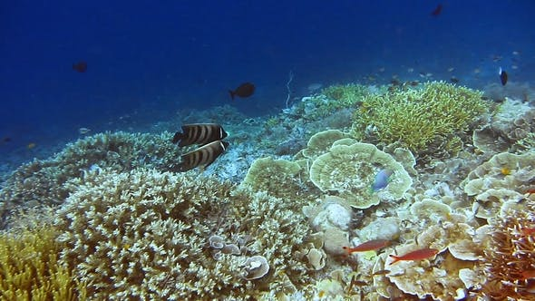 Thumbnail for Two Emerald Angel Fish Playing Between Amazing Alive Coral Reef. Exciting and Unforgeable Diving