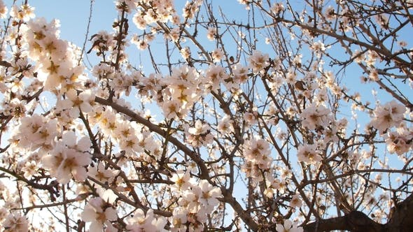 Thumbnail for Flowering of Almond Flowers in the Spring Time on the Plantation