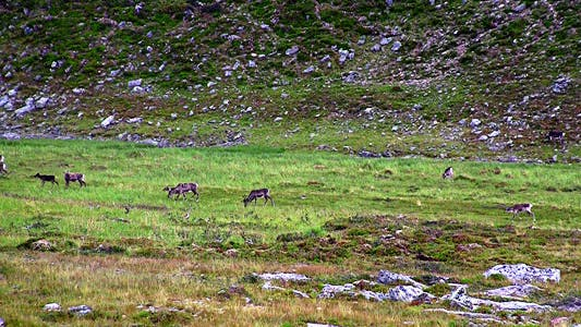 Thumbnail for Reindeer Graze On The Tundra
