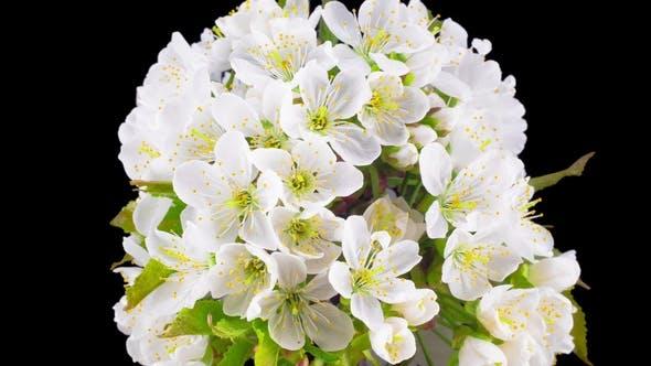 Thumbnail for Sunny Spring Morning in Cherry Garden