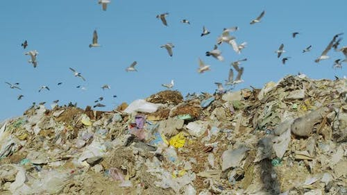 View on Birds Scavenging for Food on A Landfill Dump Site