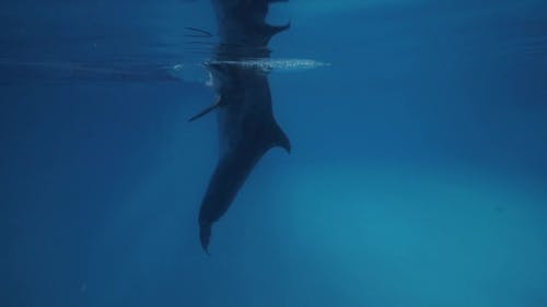 Dolphin Swimming Underwater Floating Pool in Dolphinarium