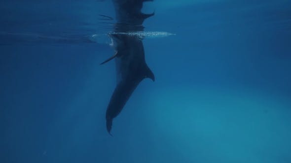 Thumbnail for Dolphin Swimming Underwater Floating Pool in Dolphinarium