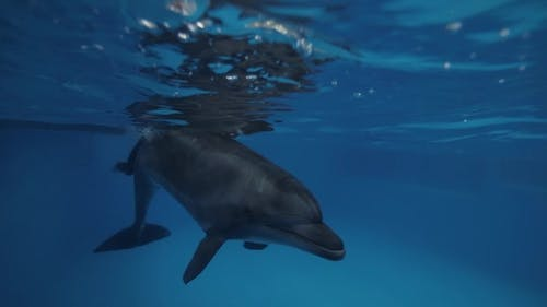 Dolphin Swimming Underwater Together Trainer in Floating Pool in Dolphinarium