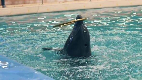 Dolphin Playing with Ring in Dolphinarium and Jumping on Poolside