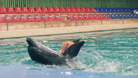 Dolphin Holding Ball with Fins During Training in Swimming Pool in Dolphinarium