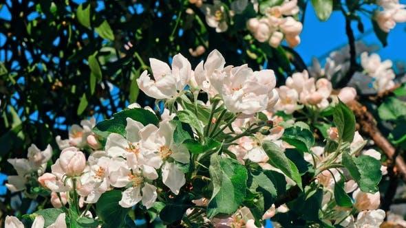 Apple Trees Flowers