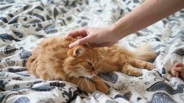 Thumbnail for Cute Ginger Cat Lying in Bed. Fluffy Pet Is Licking Its Paws. Little Baby Strokes Kitty. Cozy Home